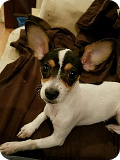 Chihuahua/Rat Terrier Mix Puppy for adoption in Lodi, California - Lacey (Flower)