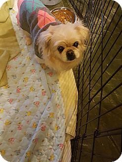 Pekingese Mix Dog for adoption in Sterling, Massachusetts - SANDI
