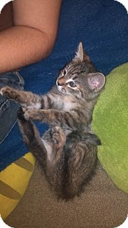 Domestic Mediumhair Kitten for adoption in Scottsdale, Arizona - Zelda Lynx- courtesy post