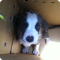 Adopt A Pet :: Mickey Blue Eyes - pasadena, CA