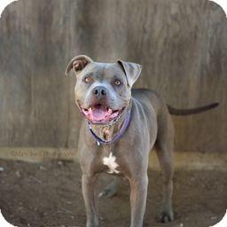 Pit Bull Terrier Dog for adoption in Costa Mesa, California - Hurley