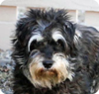 Schnauzer (Miniature) Mix Dog for adoption in Portola, California - Hanz