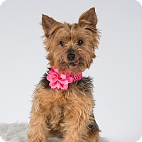 Yorkie, Yorkshire Terrier Dog for adoption in St. Louis Park, Minnesota - Tess - Pending Adoption as of 3/24