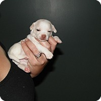 Adopt A Pet :: twinkle - mooresville, IN