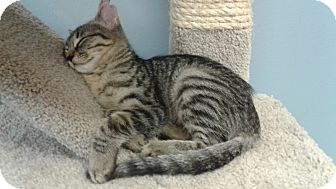 Domestic Shorthair Kitten for adoption in Lake Charles, Louisiana - Maci
