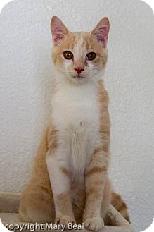 Domestic Shorthair Kitten for adoption in Prescott, Arizona - Pinky