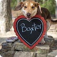 Adopt A Pet :: Baxter the 'Bagel' - Glastonbury, CT
