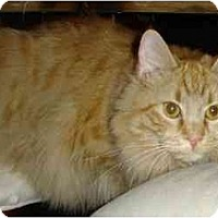 Domestic Longhair Cat for adoption in Fairfax Station, Virginia - Zelda