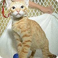 Adopt A Pet :: Figaro - New York, NY