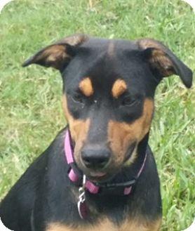 Doberman Pinscher/Hound (Unknown Type) Mix Dog for adoption in Homestead, Florida - Gigi