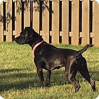 Adopt A Pet :: Lyric - Knoxville, TN