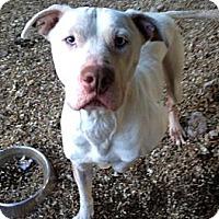 Adopt A Pet :: spirit - Wanaque, NJ