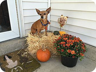 Chihuahua/Miniature Pinscher Mix Dog for adoption in Pittsburgh, Pennsylvania - Betty