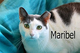 Domestic Shorthair Cat for adoption in Wichita Falls, Texas - Maribel