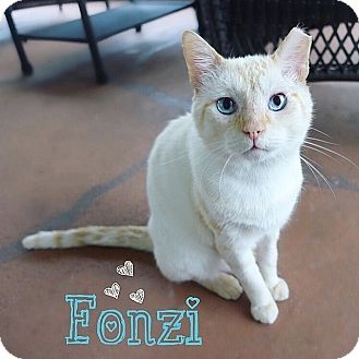 Siamese Cat for adoption in Tampa, Florida - Fonzi