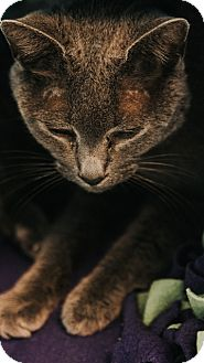 Domestic Shorthair Cat for adoption in Indianapolis, Indiana - Sidney