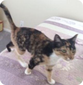 Calico Kitten for adoption in McHenry, Illinois - Marley