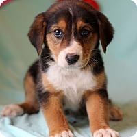 Adopt A Pet :: Kali - Waldorf, MD