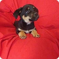 Adopt A Pet :: Shirley -  Adoption Pending! - Hillsboro, IL