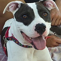 American Pit Bull Terrier/Pit Bull Terrier Mix Dog for adoption in Concord, Ohio - Lindy
