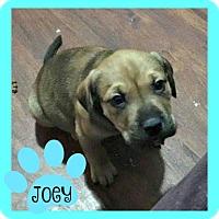 Adopt A Pet :: Joey - Des Moines, IA