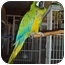 Photo 1 - Macaw for adoption in Fountain Valley, California - Sam