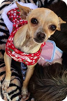 Chihuahua Mix Dog for adoption in San Diego, California - Mini