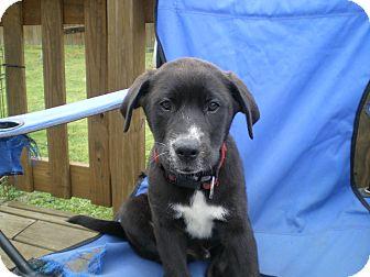 Border Collie/Labrador Retriever Mix Puppy for adoption in Apex, North Carolina - King Arthur
