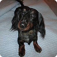 Adopt A Pet :: Sherman - Apex, NC