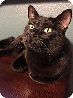 Domestic Shorthair Cat for adoption in Santa Ana, California - Faelyn