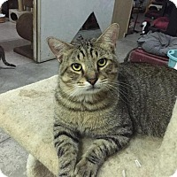 Domestic Shorthair Cat for adoption in St. James City, Florida - Zeus