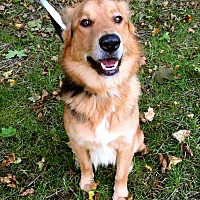 Shepherd (Unknown Type)/Collie Mix Dog for adoption in Detroit, Michigan - Harley Davidson
