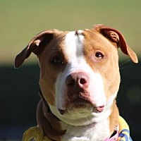 Pit Bull Terrier Mix Dog for adoption in Va Beach, Virginia - Lola