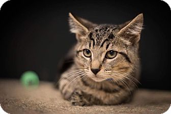 Domestic Shorthair Kitten for adoption in Madionsville, Kentucky - Carmelo