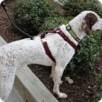 German Shorthaired Pointer Dog for adoption in Greensboro, Georgia - Sadie