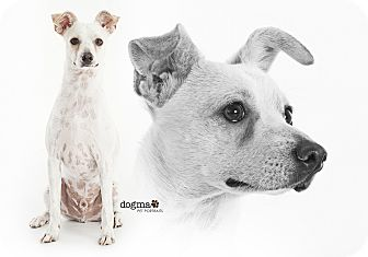 Italian Greyhound/Jack Russell Terrier Mix Dog for adoption in Lake Forest, California - River