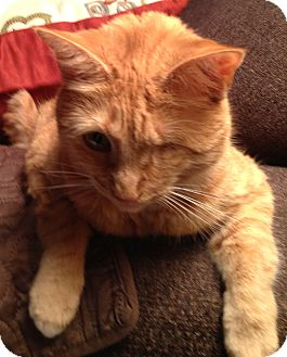 Domestic Shorthair Cat for adoption in Horsham, Pennsylvania - Sunshine