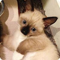Adopt A Pet :: Adobe - N. Billerica, MA