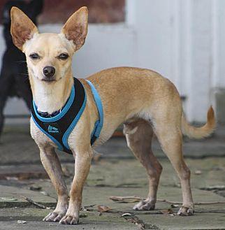 Chihuahua/Dachshund Mix Dog for adoption in Dallas, Texas - Tyson - Puppy