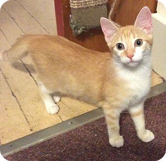 Domestic Shorthair Kitten for adoption in Mt Pleasant, Pennsylvania - Peach
