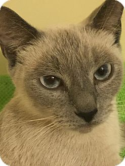 Siamese Cat for adoption in Irwin, Pennsylvania - Sasha