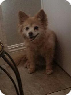 Pomeranian Mix Dog for adoption in Las Vegas, Nevada - Abby
