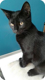 Domestic Shorthair Kitten for adoption in Romeoville, Illinois - Babe