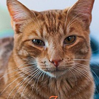 Domestic Shorthair Cat for adoption in Knoxville, Tennessee - Jaxon Male
