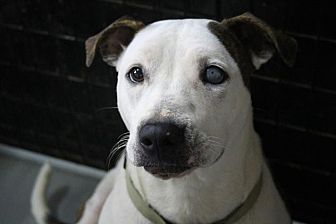 American Bulldog Mix Dog for adoption in McKenzie, Tennessee - LIBBY