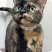 Domestic Shorthair Cat for adoption in Downers Grove, Illinois - ADOPTED!!!   Callie