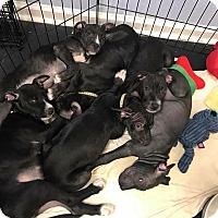 Adopt A Pet :: Puppies - Jupiter, FL