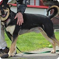 Rottweiler/Husky Mix Dog for adoption in Seattle, Washington - Manny