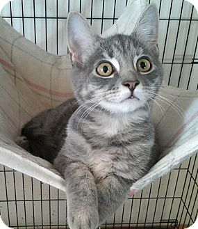 Domestic Shorthair Cat for adoption in Germansville, Pennsylvania - Pippa