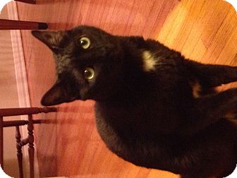Bombay Cat for adoption in Santa Monica, California - Maggy